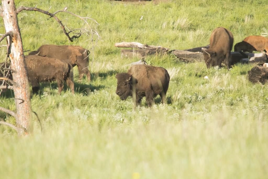 Buffalo in Cuter State Park